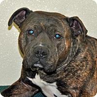 Adopt A Pet :: Bridgette - Port Washington, NY