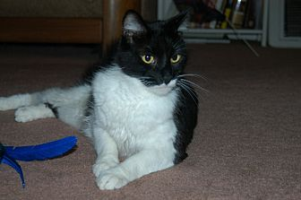 Domestic Shorthair Cat for adoption in San Jose, California - Sylvester