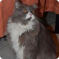 Adopt A Pet :: Bonito *Declawed* - Glendale, AZ