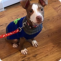 Adopt A Pet :: Brixx - Dayton, OH
