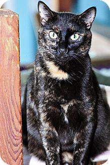 Domestic Shorthair Cat for adoption in East Norriton, Pennsylvania - Sambuca