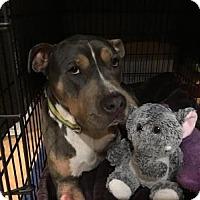 Adopt A Pet :: Pete - Cokato, MN