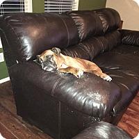 Adopt A Pet :: Syria - Austin, TX