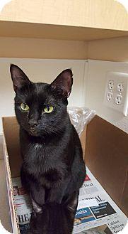 Bombay Cat for adoption in Scituate, Massachusetts - Winnie