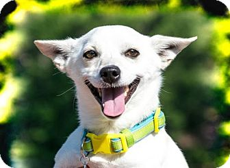 Chihuahua Dog for adoption in Glastonbury, Connecticut - Snowball