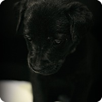 Labrador Retriever Mix Puppy for adoption in Fredericksburg, Virginia - Solomon