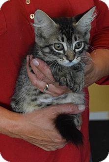 Domestic Shorthair Kitten for adoption in Surrey, British Columbia - Aiken