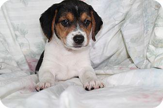 Australian Shepherd/Beagle Mix Puppy for adoption in Trenton, New Jersey - Eden (adopted)