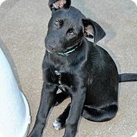Adopt A Pet :: Puppy Cinder - Austin, TX