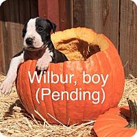 Adopt A Pet :: Wilbur - Sonoma, CA