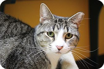 Domestic Shorthair Cat for adoption in Benbrook, Texas - Bella