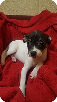 Chihuahua/Miniature Pinscher Mix Puppy for adoption in Accident, Maryland - Aster