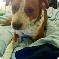 Beagle/English Springer Spaniel Mix Puppy for adoption in Brattleboro, Vermont - SCOUT