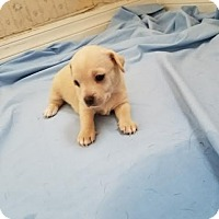 Adopt A Pet :: Munchkin - Fullerton, CA
