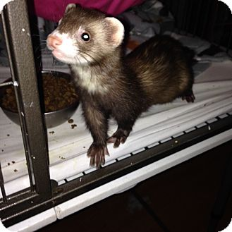 Ferret for adoption in Navarre, Florida - Bella