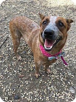 Cattle Dog Mix Dog for adoption in Philadelphia, Pennsylvania - Egypt