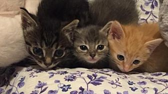 Domestic Shorthair Kitten for adoption in Cleveland, Ohio - Henry, Betsy, and Ross