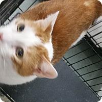 Domestic Shorthair Kitten for adoption in Westminster, California - Rascal