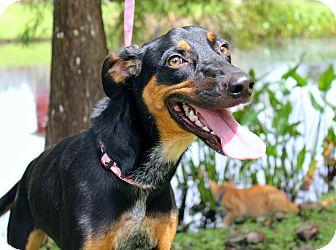 Doberman Pinscher Mix Dog for adoption in SOUTHINGTON, Connecticut - Nati