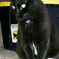 Domestic Shorthair Cat for adoption in St. Louis, Missouri - Fuzzy