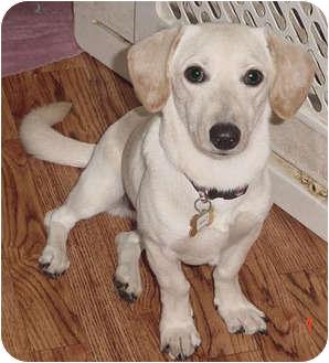 ...   Adopted Dog   Yorba Linda, CA   Dachshund/Labrador Retriever Mix
