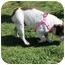 Photo 2 - English Bulldog Dog for adoption in Winder, Georgia - Jasmine