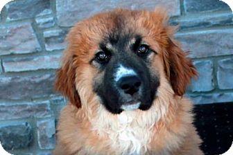 Rajahlee | Adopted Puppy | Denver, CO | St. Bernard/Leonberger Mix
