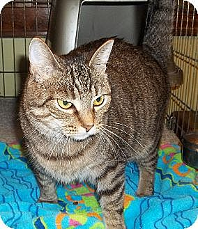 Domestic Shorthair Cat for adoption in Acme, Pennsylvania - Sierra