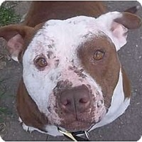 American Pit Bull Terrier Mix Dog for adoption in Lodi, California - Danny