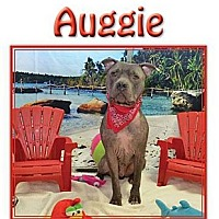Adopt A Pet :: Auggie - Hollywood, FL