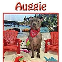 Adopt A Pet :: Auggie - Hollywood, FL