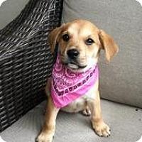 Adopt A Pet :: Baby Sandy - Marlton, NJ
