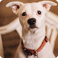 Adopt A Pet :: Pipit - Portland, OR