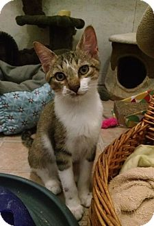 Domestic Shorthair Cat for adoption in St. James City, Florida - Mickey