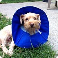 Adopt A Pet :: Lottie - Alpharetta, GA