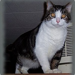 Photo 1 - Domestic Shorthair Cat for adoption in Brookville, Indiana - Sergeant