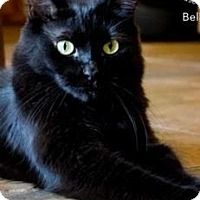 Bombay Cat for adoption in Tempe, Arizona - Munchkin