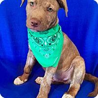 Adopt A Pet :: Superman - Irvine, CA