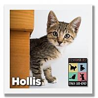 Adopt A Pet :: Hollis - Palm Desert, CA