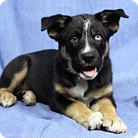 Adopt A Pet :: BRIANNA - Westminster, CO