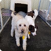 Adopt A Pet :: MISSY - Gustine, CA