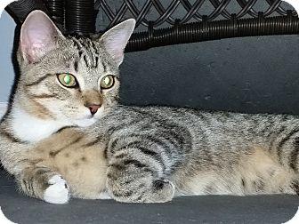 Egyptian Mau Kitten for adoption in Medford, New Jersey - Pharaoh (Sonny kttens)