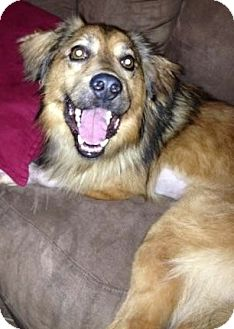 Sheltie, Shetland Sheepdog/Retriever (Unknown Type) Mix Dog for adoption in Oswego, Illinois - Benjamin (from foster home)