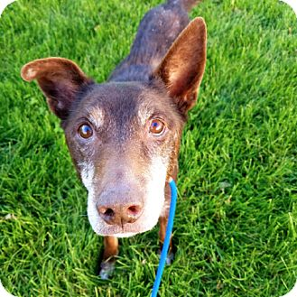 Doberman Pinscher/Labrador Retriever Mix Dog for adoption in Palatine, Illinois - Patch