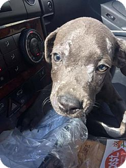 Pit Bull Terrier/Hound (Unknown Type) Mix Dog for adoption in New York, New York - Mick