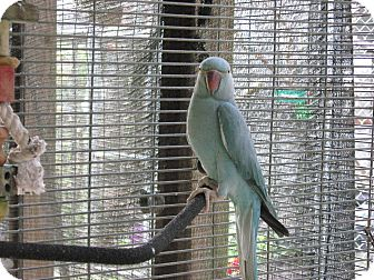 Parakeet - Other for adoption in Christmas, Florida - Sidney