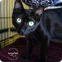 Domestic Shorthair Kitten for adoption in Mooresville, North Carolina - A..  Gavin
