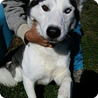 Siberian Husky Dog for adoption in Bristol, Virginia - Aries