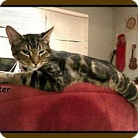 Adopt A Pet :: OTTER - Malvern, AR