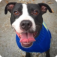 American Pit Bull Terrier Mix Dog for adoption in Reisterstown, Maryland - Nina